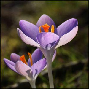 paarse krokus