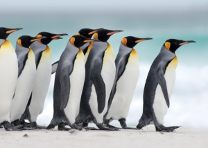 pinguins march